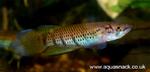 fwkillifish&1625158743 Thumbnail