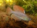 Thumbnail for fwkillifishe1553715590