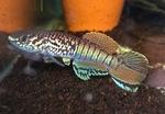 Thumbnail for fwkillifishe1571936717