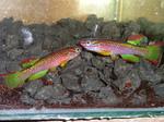 Thumbnail for fwkillifishe1572000849