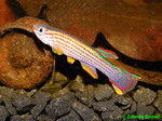 Thumbnail for fwkillifishe1572000917
