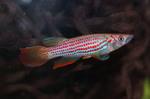 Thumbnail for fwkillifishe1572002441