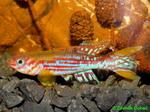 Thumbnail for fwkillifishe1572003943