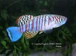 Thumbnail for fwkillifishe1572606567