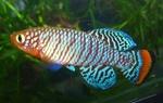 Thumbnail for fwkillifishe1572622448