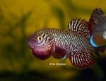 Thumbnail for fwkillifishe1591139937
