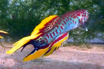 Thumbnail for fwkillifishe1611402002