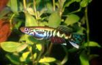 Thumbnail for fwkillifishe1618551444