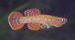 Thumbnail for fwkillifishe1618552323