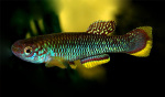 Thumbnail for fwkillifishe1618585235