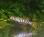 Thumbnail for fwkillifishe1618587557
