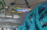 Thumbnail for fwkillifishe1618588275