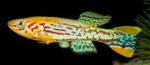 fwkillifishe&1620833414 Thumbnail