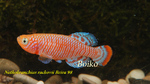 Thumbnail for fwkillifishe1628056041