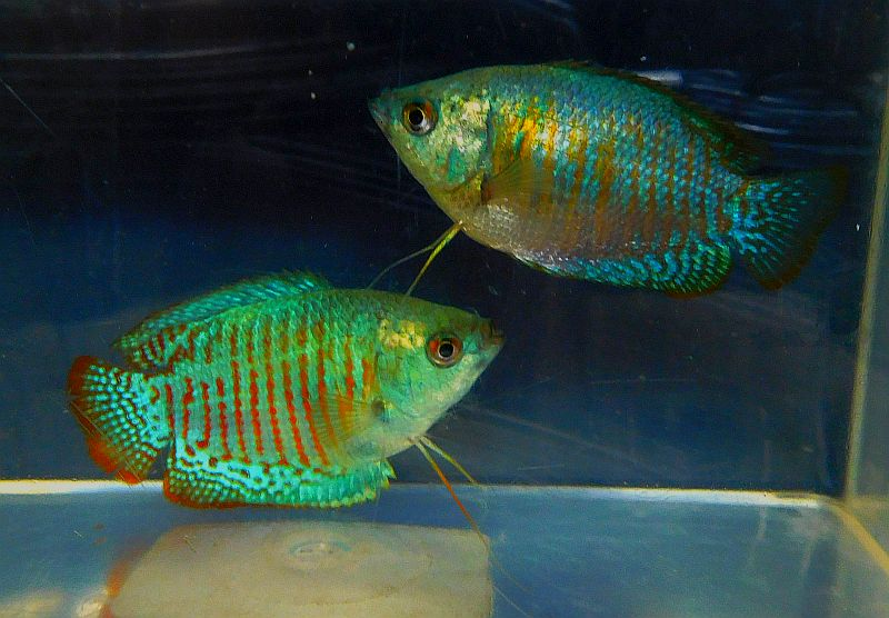 fwanabantoid1553042025 - 2 nice pair of neon blue dwarf gouramis