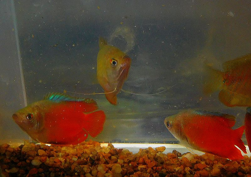 fwanabantoid1553042061 - 2 nice pair of flame gouramis