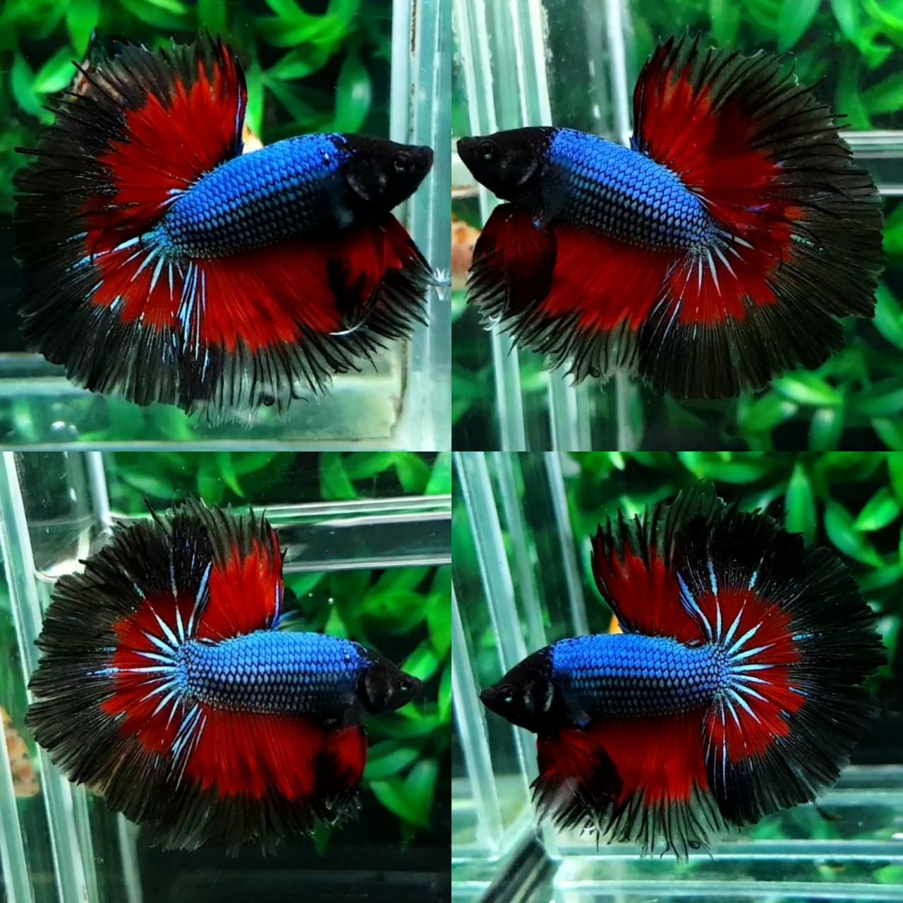 fwbettashm3102152004 - OHM male Blue Red Black Marble By Kingpetall