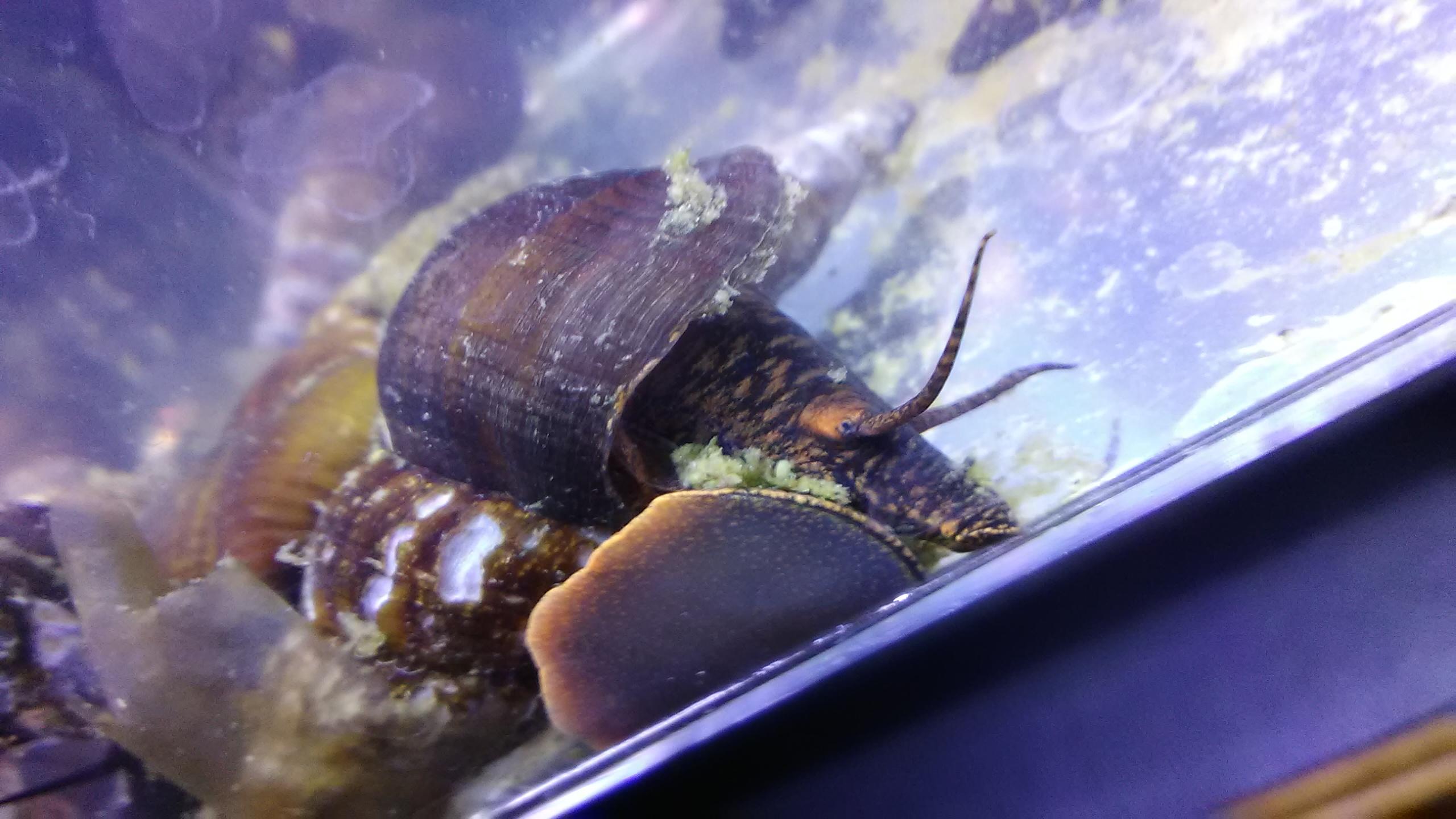 fwinverts1539980037 - Breeding Age! Gold Rabbit Snail Freshwater!